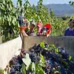 自然派オーガニック・ワインから見たワインの造り方|収穫