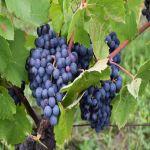 収穫されたブドウの実の残留農薬がワインに入る可能性